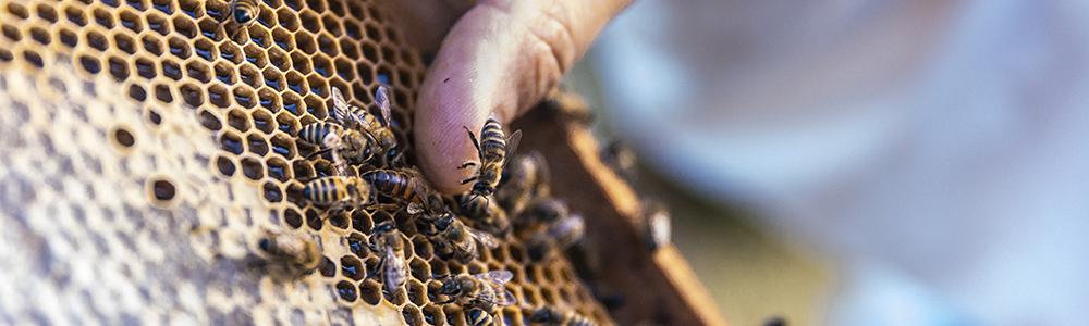 Pszczoły na plastrze miodu akacjowego.