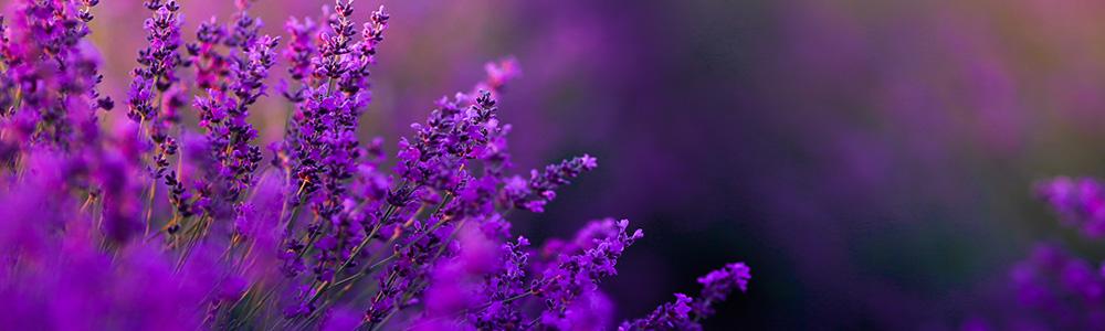 Nektarujące kwiaty lawendy z bliska. Z tego nektaru pszczoły produkują pyszny miód lawendowy.