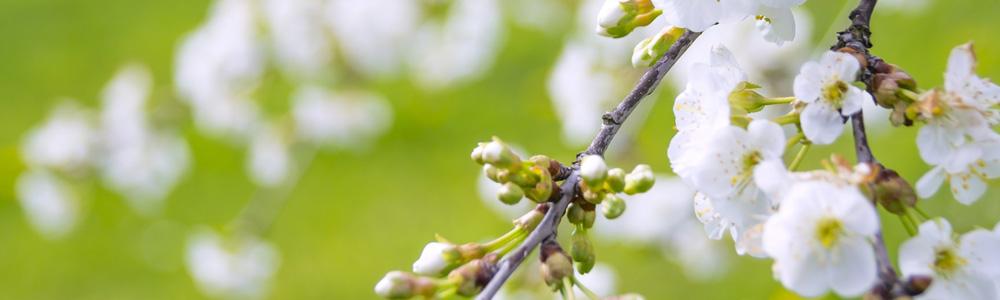 Kwiaty wiśni zapewniają nektar, z którego pszczoły produkują miód wiśniowy.