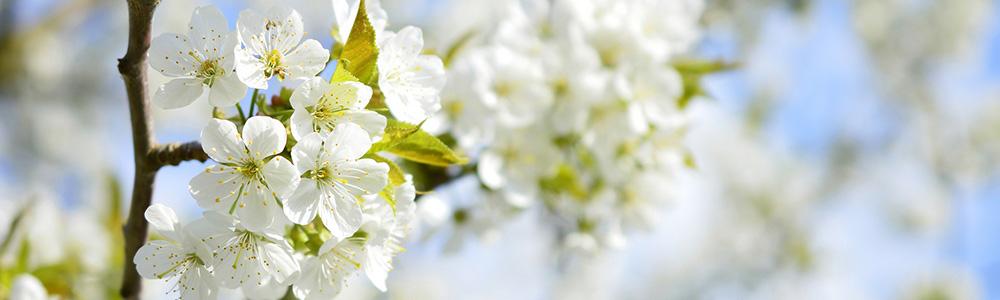 Kwiaty wiśni kwitną szybko, dlatego miód wiśniowy jest tak wyjątkowy.