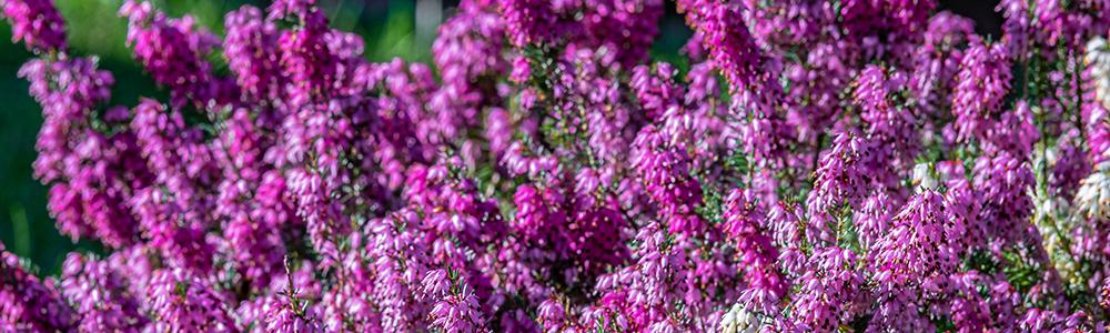 Miód wrzosowy - piękne wrzosowiska na których pszczoły zbierają nektar.