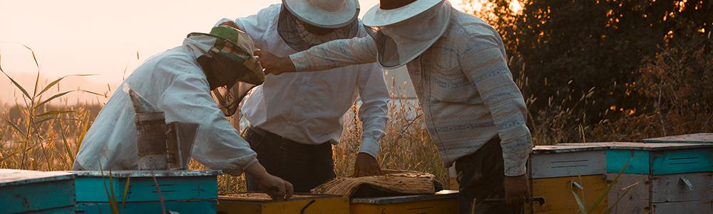 Pozyskanie mleczka pszczelego jest procesem trudnym i czasochłonnym, dlatego produkt ten jest tak wyjątkowy i cenny.