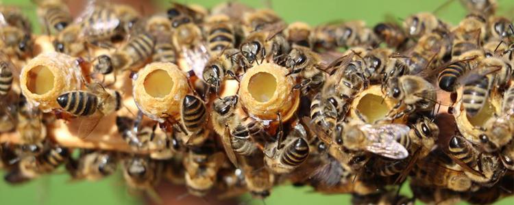 Pszczoły produkujące mleczko pszczele dla swojej pszczelej królowej